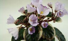 Rob's Pewter Bells Blatt/leaf Usambaraveilchen African Violet