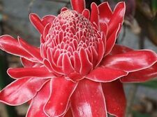 Stunning Red Torch Ginger (Etlingera elatior) Seeds