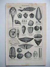 stampa antica old print ANIMALI MARINI CONCHIGLIE PESCI GONIATITES 1923