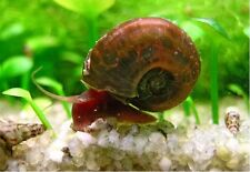 5 Ramshorn Snails Algea Eater Tropical/Cold Water Pond