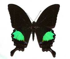 PAPILIO PARIS BATTACORUM - unmounted butterfly
