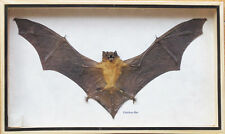 REAL GIANT HAIRLESS BAT INSECT TAXIDERMY IN BOXED DISPLAY