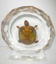 Table Stand Display - Farmed Red-eared Slider Turtle Specimen (in clear Lucite)
