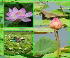 10 seeds Lotus Flower , Sacred Lotus, Nelumbo nucifera, Aquatic Plants Beautiful