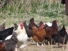 6 Large Fowl Pot Luck Hatching Eggs