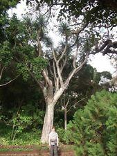 Yucca-Palmen Yucca torreyi winterhart - für den Garten - bis 6 Meter / Samen