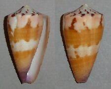 Coquillage de collection : Conus circumactus (F++)