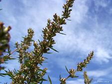 500 Samen Gemeine Beifuß - Artemisia Vulgaris Heilpflanze Küchenkräuter