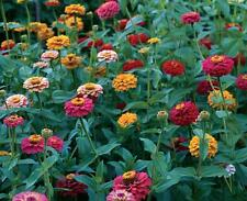 Zinnia ( California Giants ) 100 Flower Seeds Non GMO Hardy Free Shipping
