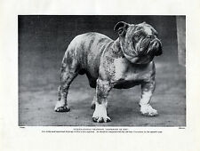 English Bulldog Great Image Jasperdin Of Din Old Dog Print Page From 1934