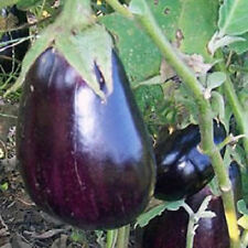 1,000 Seeds Eggplant Black Beauty Egg Plant  BULK SEEDS