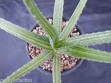 """Aloe vera Variegated Striated Very nice streaks 20"""" Wide Great Plant R6"""
