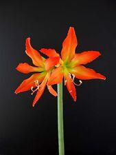 Hippeastrum 'blossfeldiae' - 1 of  Amaryllis bulb