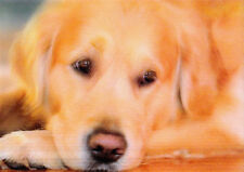 3 -D - Wackel-Karte: Golden Retriever zwinkert - twinkling Golden retriever