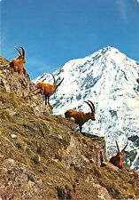 BR2331 France Gran Paradiso wild he goats bouquetins males