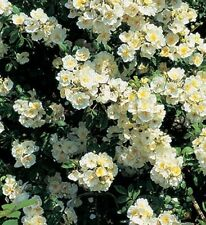 "ROSE BUSH CLIMBER/RAMBLER ""Rambling Rector"" fragrant AGM ""New season rose"""