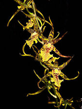 """Bracidostele Gilded Tower 'Mystic Maze', Near Blooming size Orchid Plant, 3"""" Pot"""
