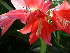 Crinum Lily, Magenta Lady, small-size bulb