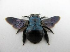 Xylocopa caerulea Female Blue Carpenter Bee Taxidermy REAL Insect