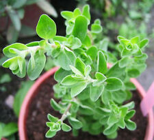 Common Origanum Seed 50 Seeds Origanum Vulgare Sweet Marjoram Herb Seed Hot D013