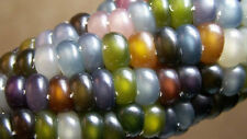 Original Rare 5 Seeds Organic Glass Gem Corn maize popcorn multicolour Cherokee