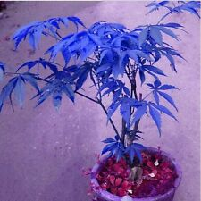 Hot 20Pcs/pack RARE BLUE MAPLE Seeds Bonsai Tree Plants Potted Garden New