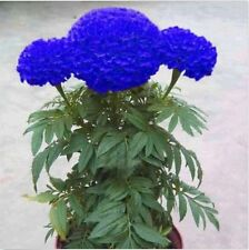 100 Blue Marigold Maidenhair Seeds Home Garden Edible Flower Plant Seed