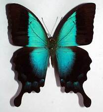 PAPILIO PERICLES - unmounted butterfly