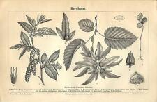 Stampa antica CARPINO BIANCO Carpinus betulus botanica 1890 Old antique print