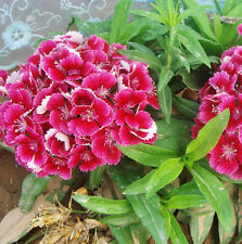 Dianthus Seed 50 Seeds Of Each Pack U.S. Dianthus Seeds Flower Garden Seeds A010