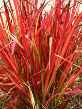 6 graines de BARON ROUGE(Imperata Cylindrica RED BARON)H160 SEEDS SAMEN SEMILLAS