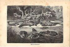 Stampa antica ALLIGATORE CAIMANO NERO Melanosuchus 1891 Old antique print