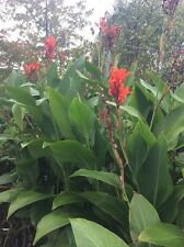 Red Canna Lily lot 3 Bulbs $3.99