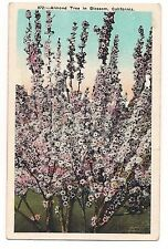 ALMOND TREE IN BLOSSOM Nut Nuts Flowering Flowers CALIFORNIA Postcard