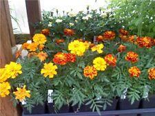 2,000 Sparky Mix Marigold Seeds BULK SEEDS