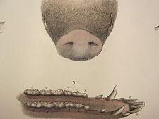 1880 farriery print ~ l'âge du porc comme indiqué par les dents ANATOMIE défenses