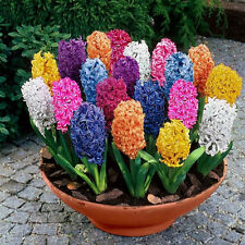 100pcs Multi Mixed Color Hyacinthus Orientalis Seeds Yard Garden Plants Flowers