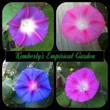 Morning Glory/Ipomea Mixed Variety 100 seeds **gorgeous blooms**
