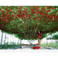 50 Italian Tree Tomato Rare Heirloom Octopus Seeds Of Life Tomato Giant Tree