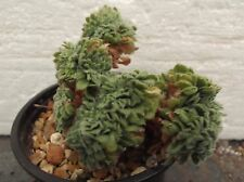 AEONIUM TABULAEFORME CRISTATE in 9cm pot, lovely healthy succulent