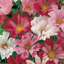200 COSMOS SEA SHELLS Mixed Colors Flower Seeds + Gift