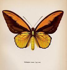 Antique BUTTERFLY Print Butterfly Wall Art Wallace's Golden Birdwing 1754