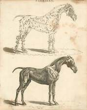 1802  Farriery Muscular And Nervous Design Of The Horse Copperplate