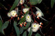 Jarrah  (Eucalyptus marginata)  25 Seeds