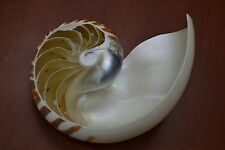 "BIG LARGE SPLIT SLICE TIGER CHAMBERED NAUTILUS SEA SHELL DECOR 6"" - 7"" #7816"