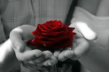 Red Rose in Black and White Hands, Art 8x10 Photo Picture