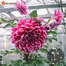 Red Dahlia Seeds Charming Chinese Flower Seeds 100 Pcs