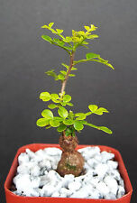 "Operculicarya decaryi exotic rare madagascar natural bonsai plant caudex  2"" pot"