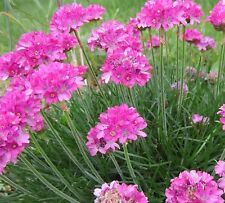 SEA THRIFT *Armeria maritima* PINK SHADES * SALT TOLERANT * DURABLE EDGING SEEDS