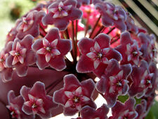 healthy exotic Hoya fragarant wax flower plant red fantacy